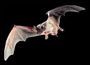 Mexican Fre-Tail Bat